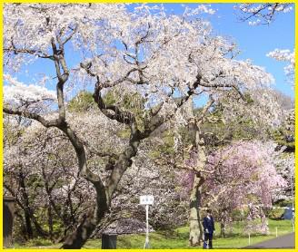 皇居・乾通りの桜 2018年一般公開の期間やアクセス方法は?混雑を動画で予想!