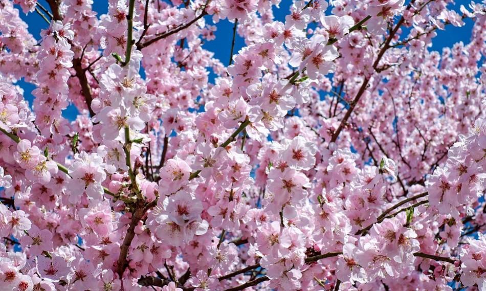 千鳥ヶ淵の桜2018|開花状況や最寄り駅は?ライトアップ時間や混雑状況を調査