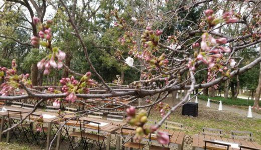 大阪城公園で桜の開花状況を毎日チェックの巻!2019年編